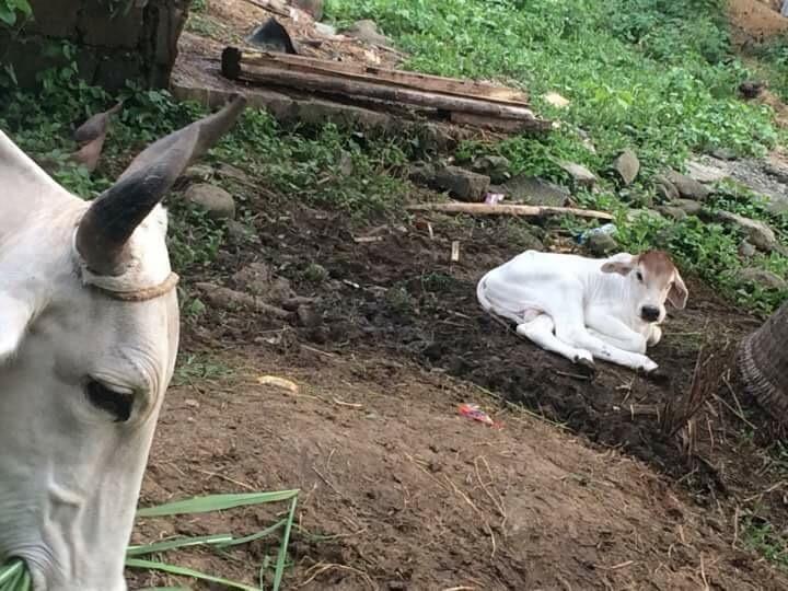 Farm new baby cow