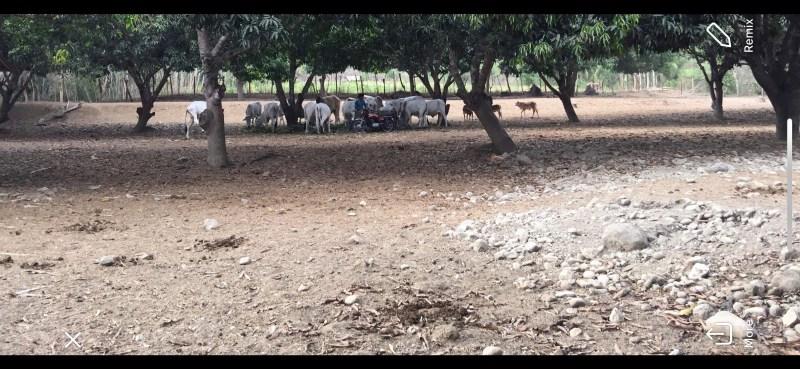 Yehey's Farm - Cows