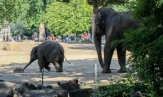 Ziloņi 1,5 gab
