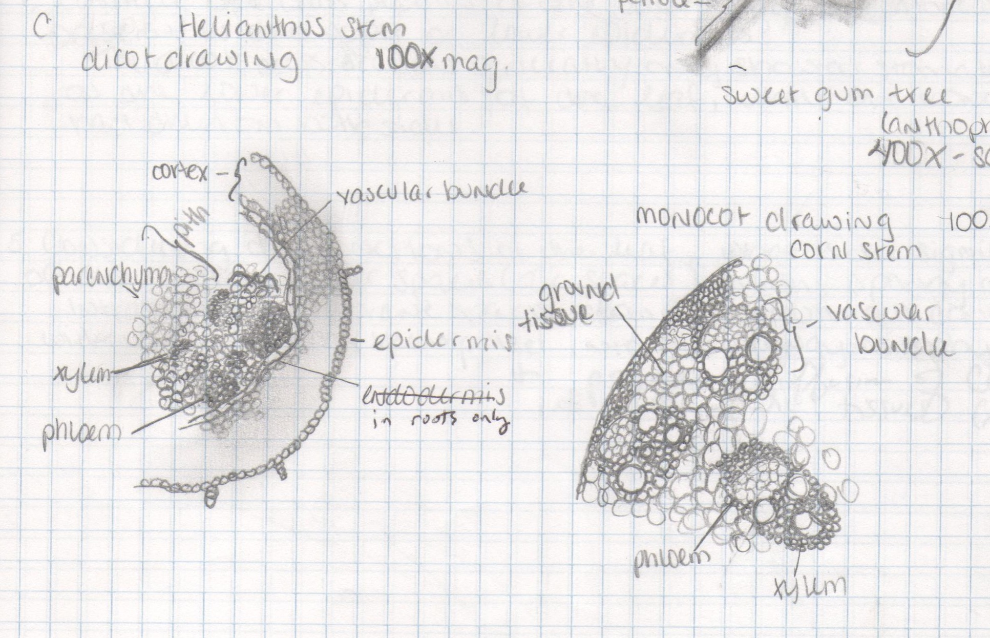 Cross Sections Monocot Versus Dicot Stems