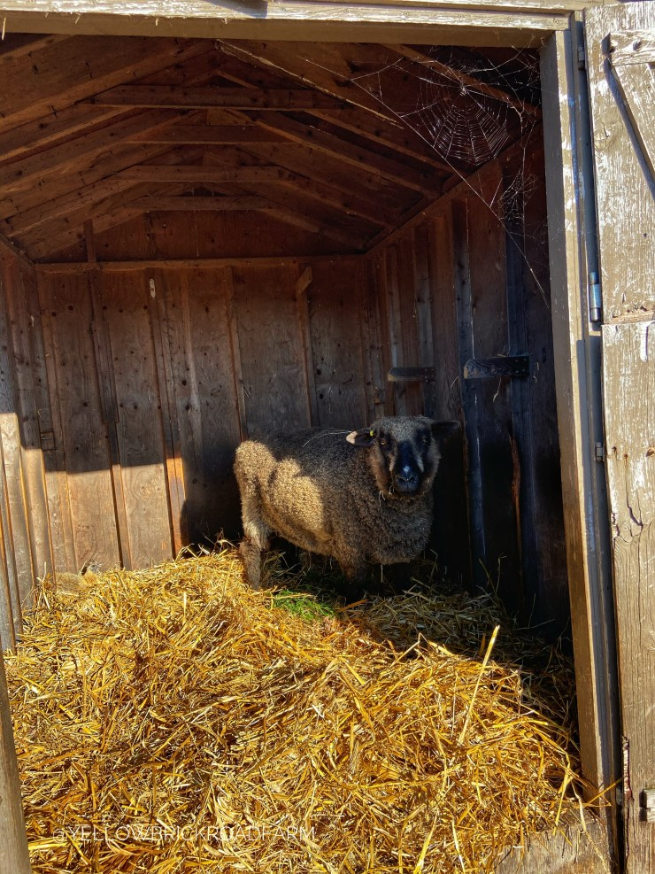 Sheep in a barn