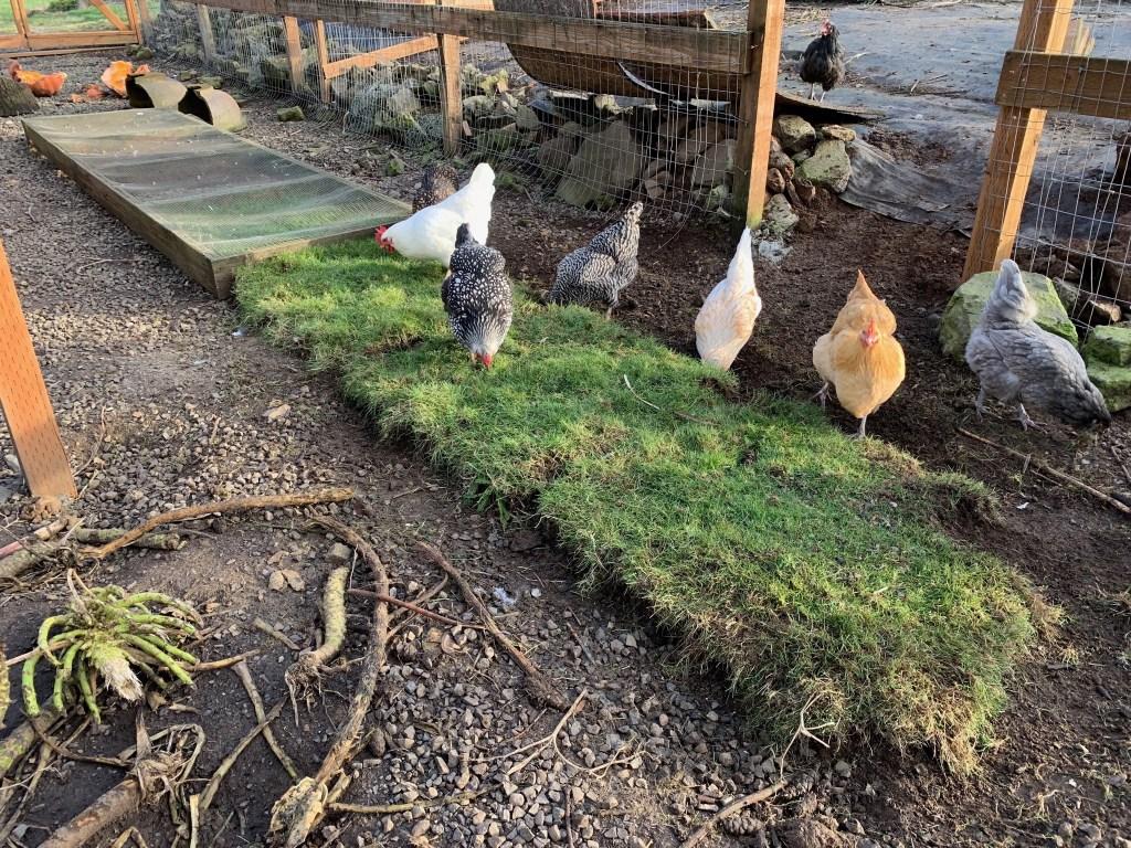Chicken on the grazing box grass