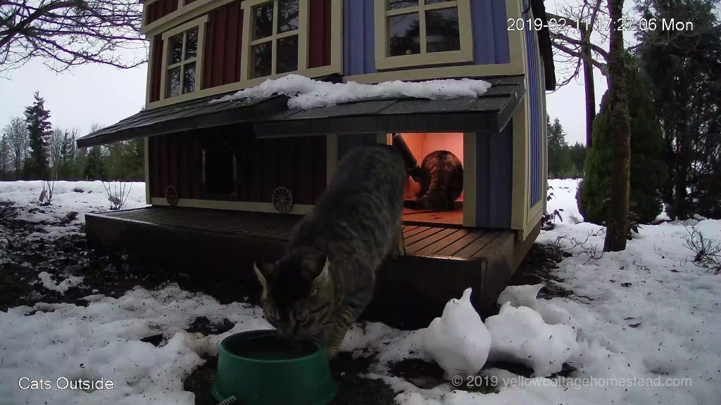 Cat drinking from heated water dish