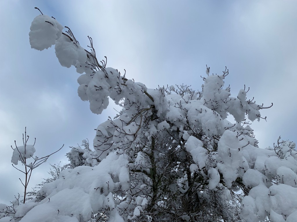 Snow on dogwood tree
