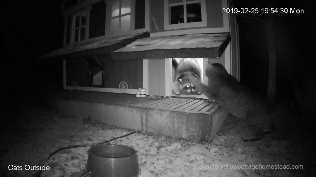 Raccoon encounter