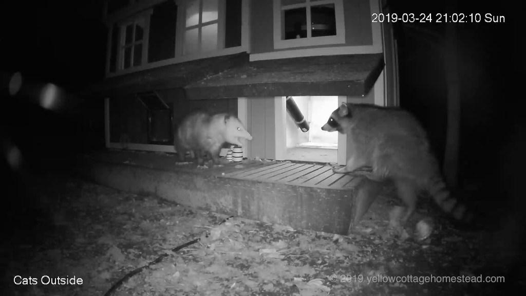 Possum & raccoon encounter