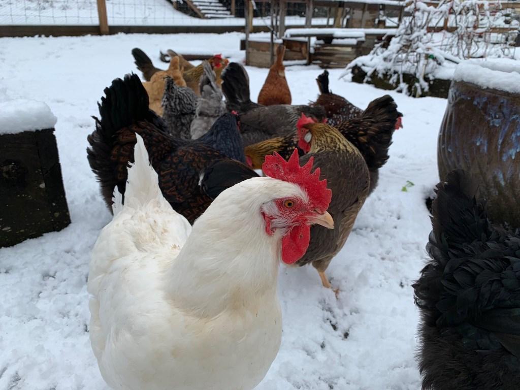 Chickens in snowy veggie garden