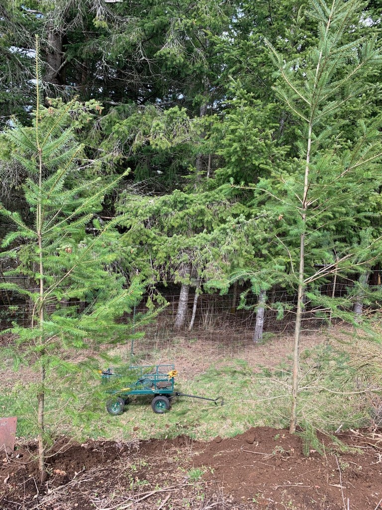 Transplanted fir trees
