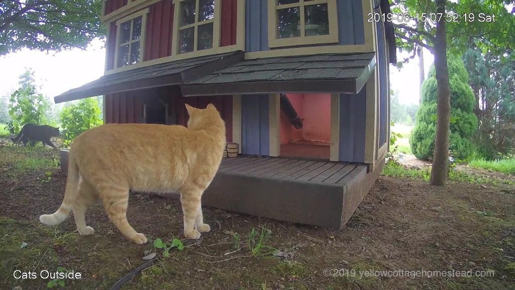 Orange cat & another