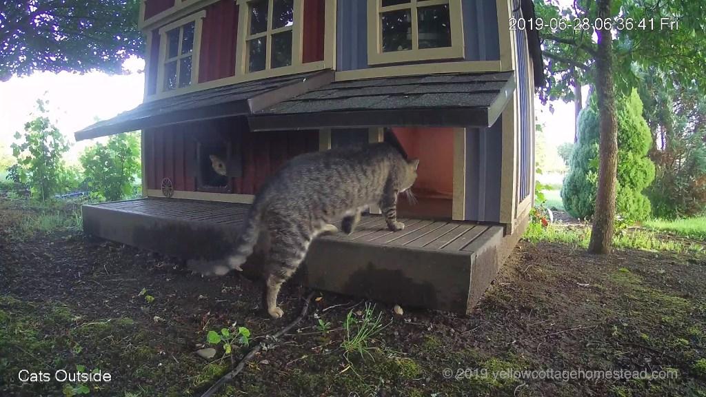 Orange cat and feral