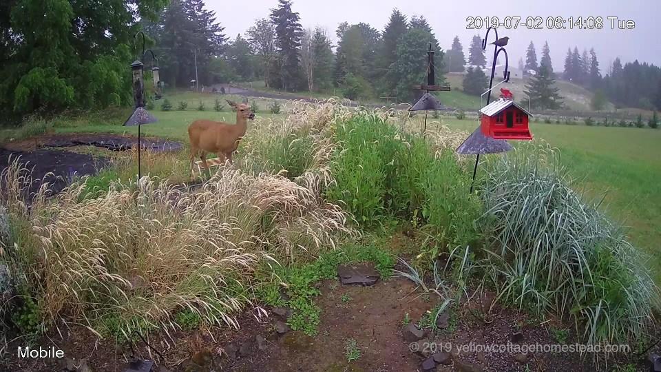 Deer by bird feeders