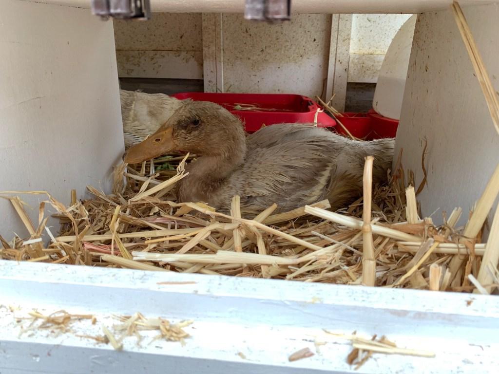 Duckling in nesting box