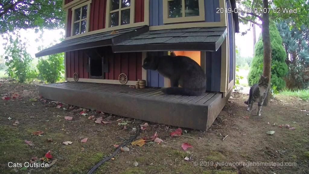 Gray cat encounter