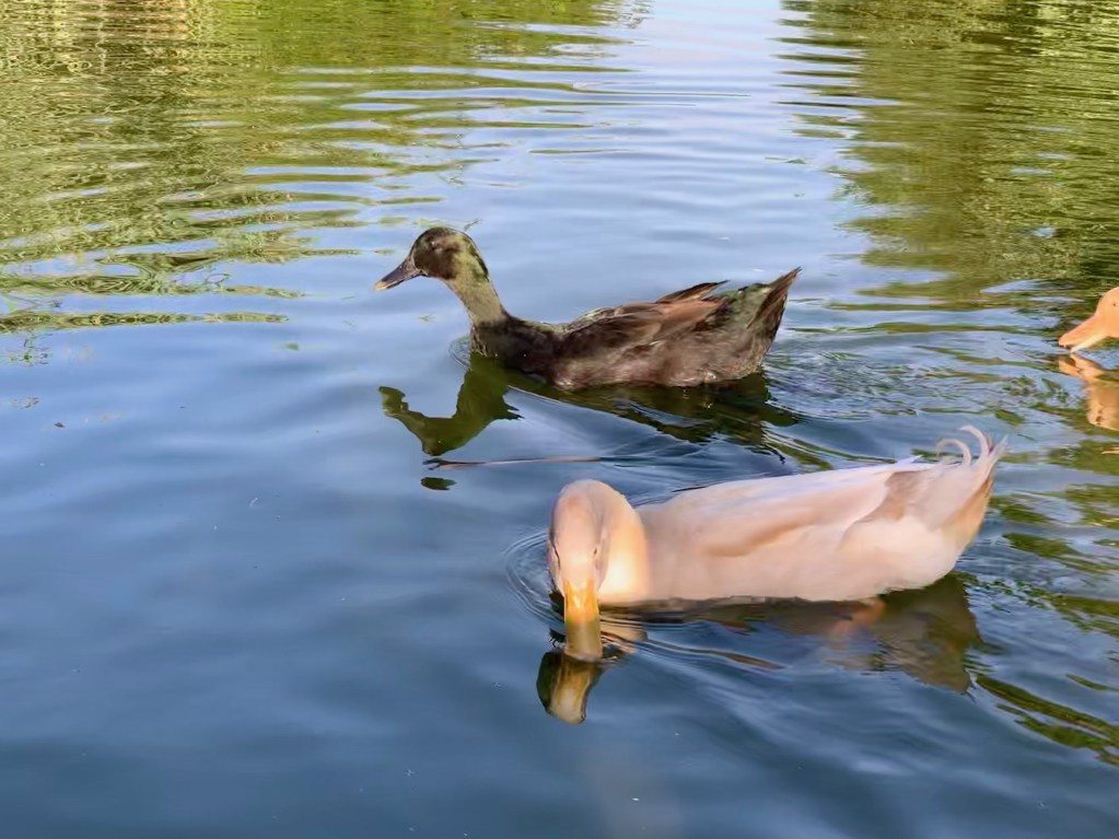 Ducks in pond