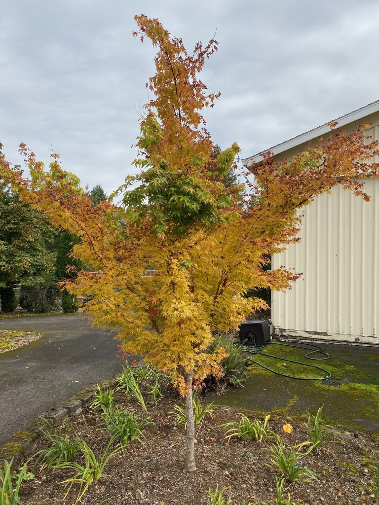 Coral bark maple (by front of shop)