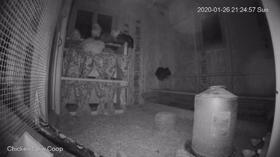 Chickens sleeping in new coop