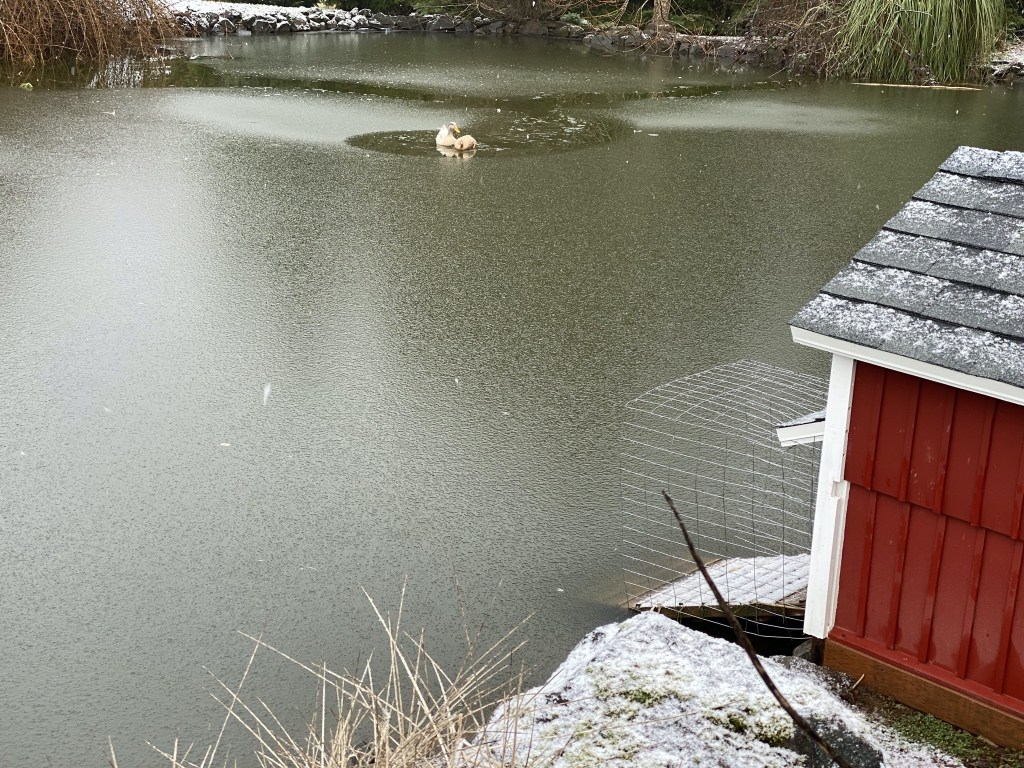 Ducks in frozen pond