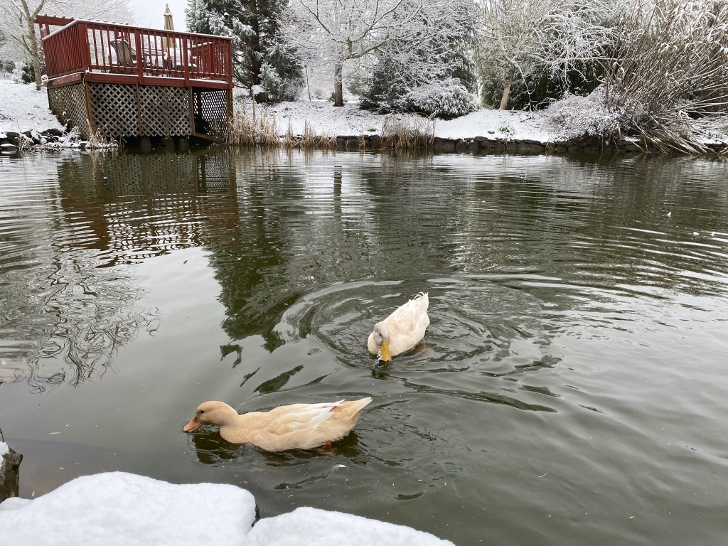 Ducks with snow