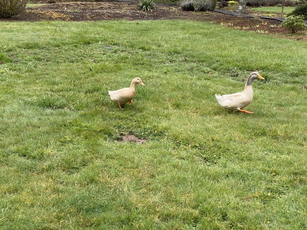 Ducks heading back to pond