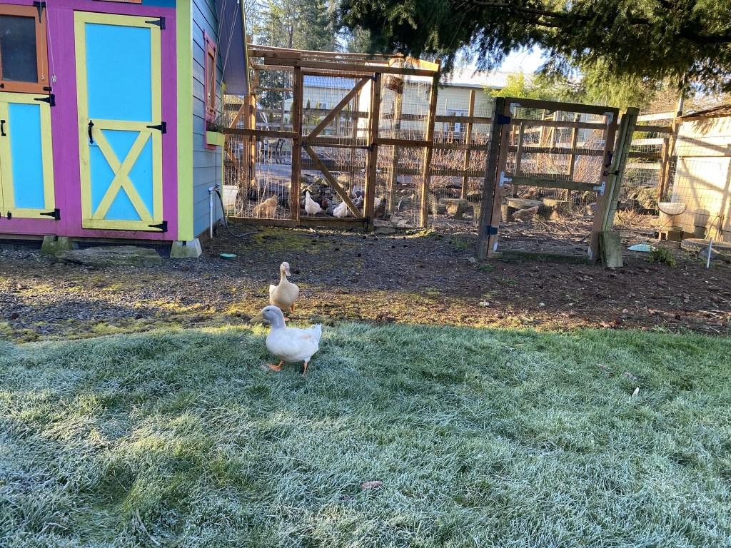 Ducks by chicken runs
