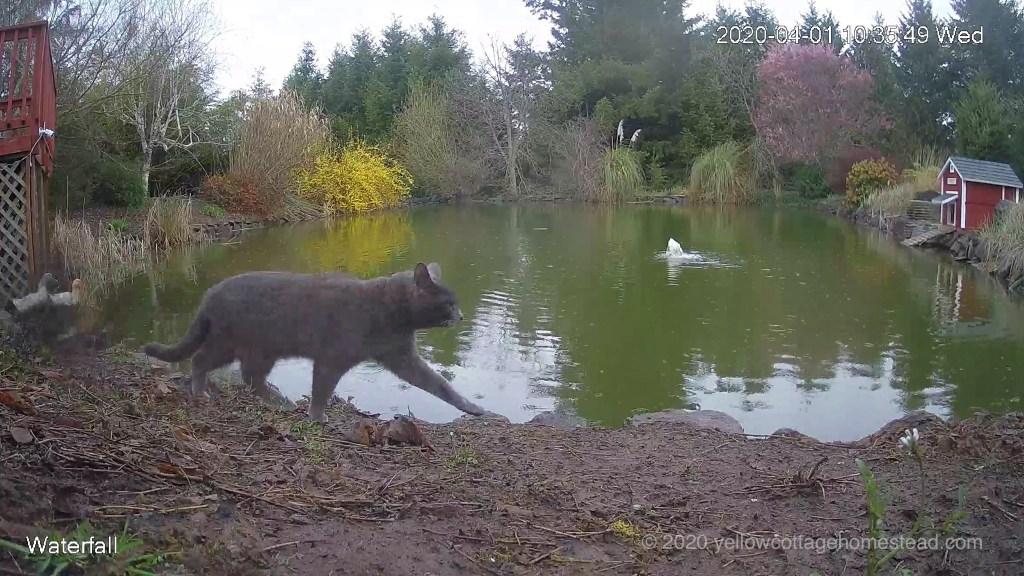 Ducks and cat
