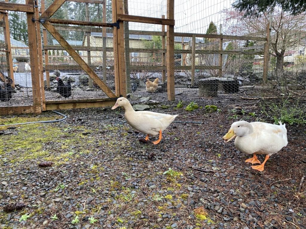Ducks by chicken run