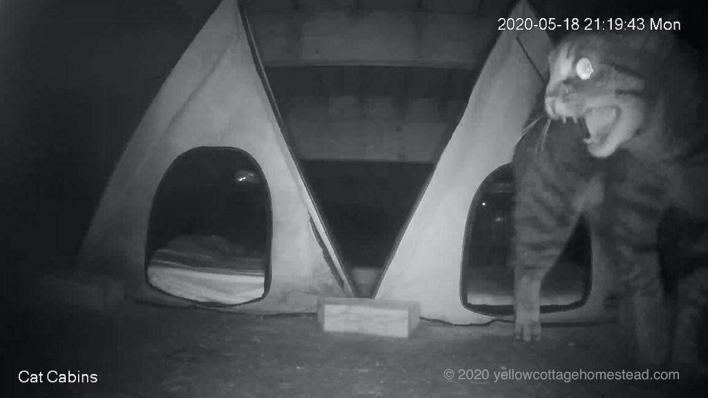 Cat hissing