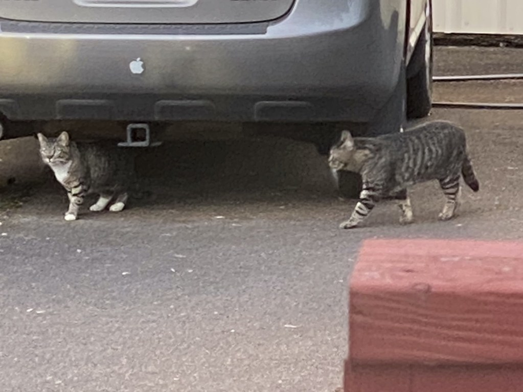 Two cats under car