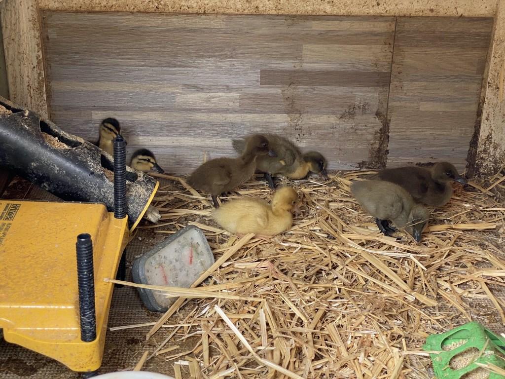 Ducklings exploring