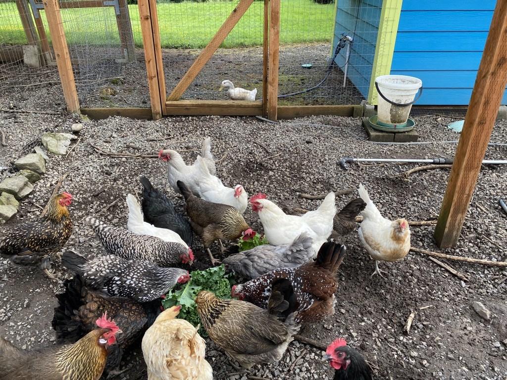 Chickens enjoying treats while Bert watches