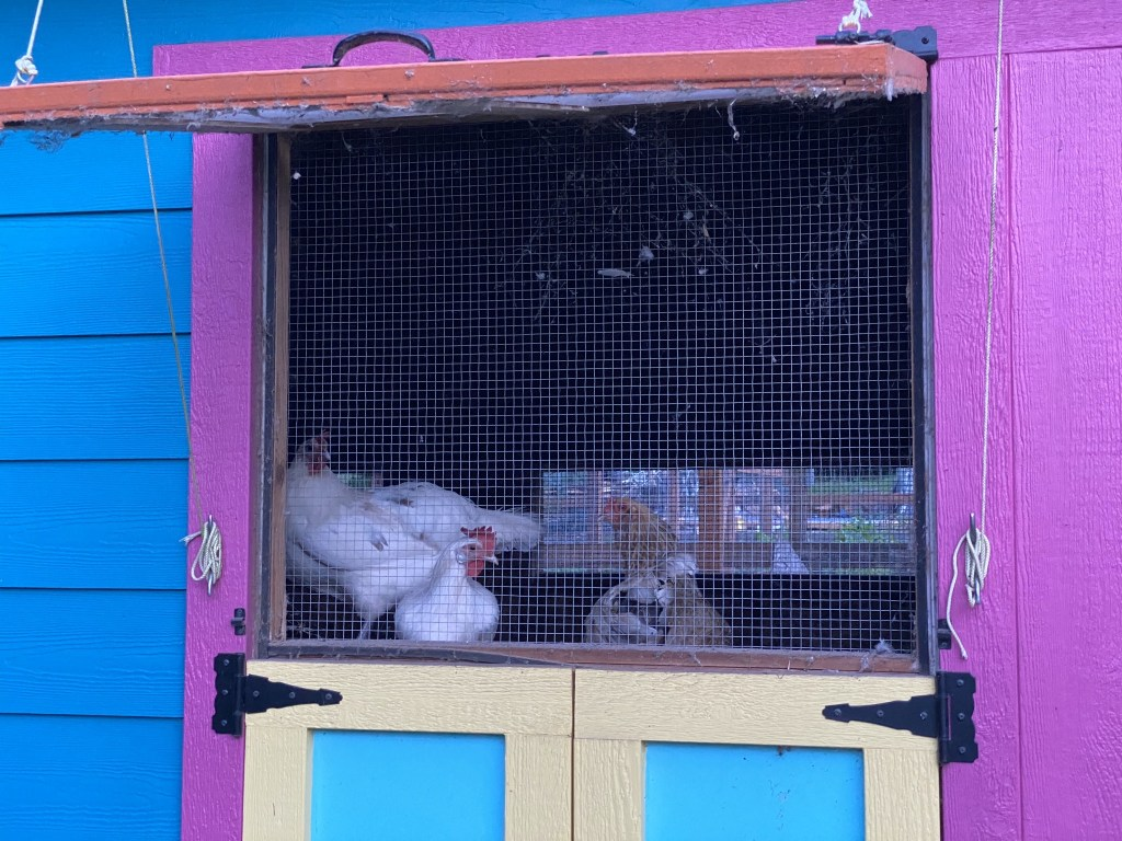 Chickens with open coop window