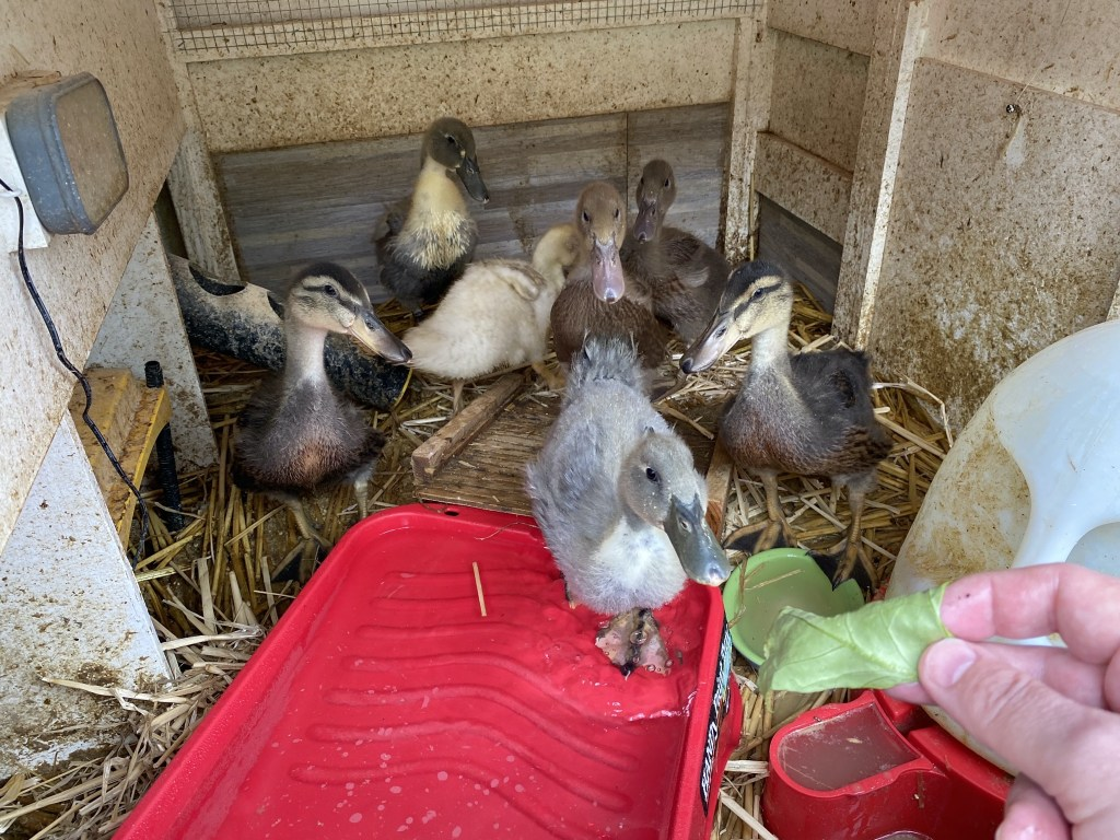 Duckling treats