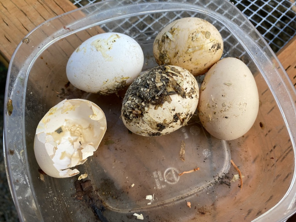 Dirty eggs