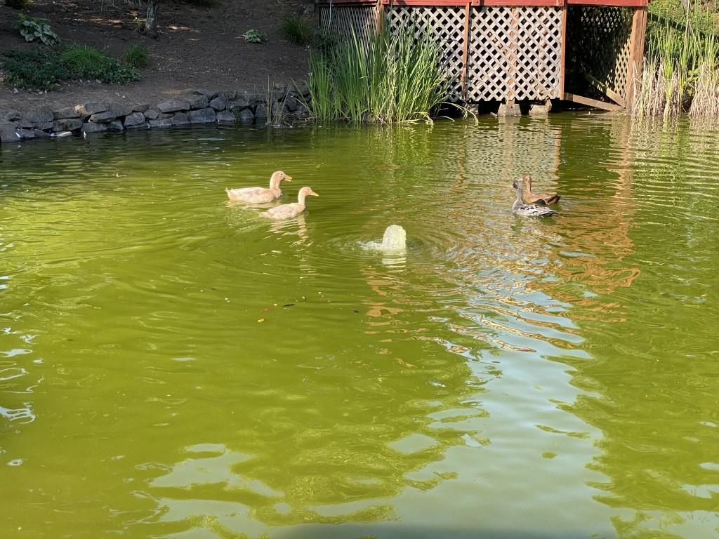 Bert shows the female ducks around
