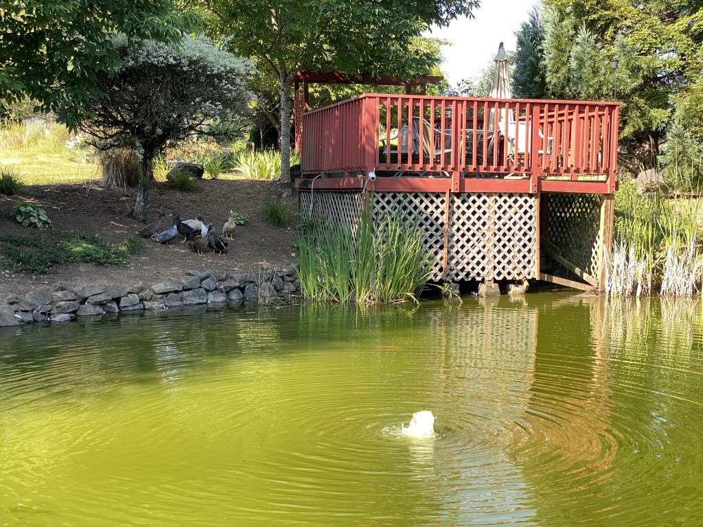 Ducks on the bank by the pond deck