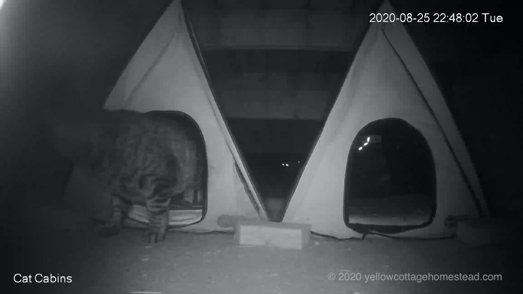 Pommie retreating from raccoons