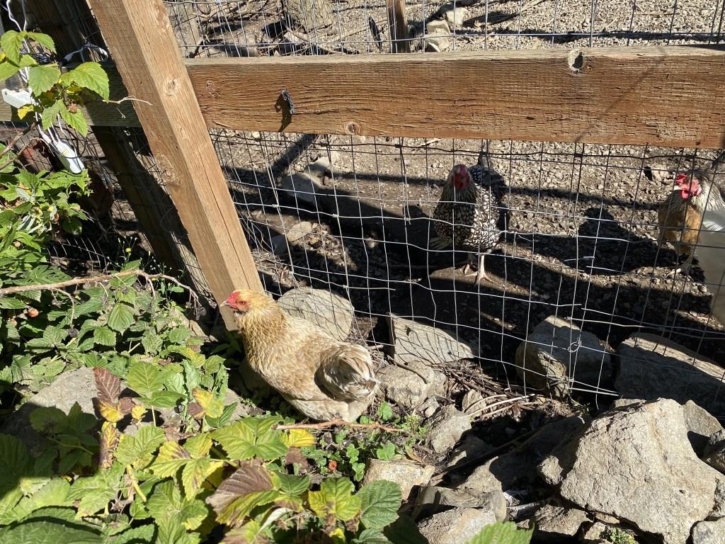 Chicken in veggie garden