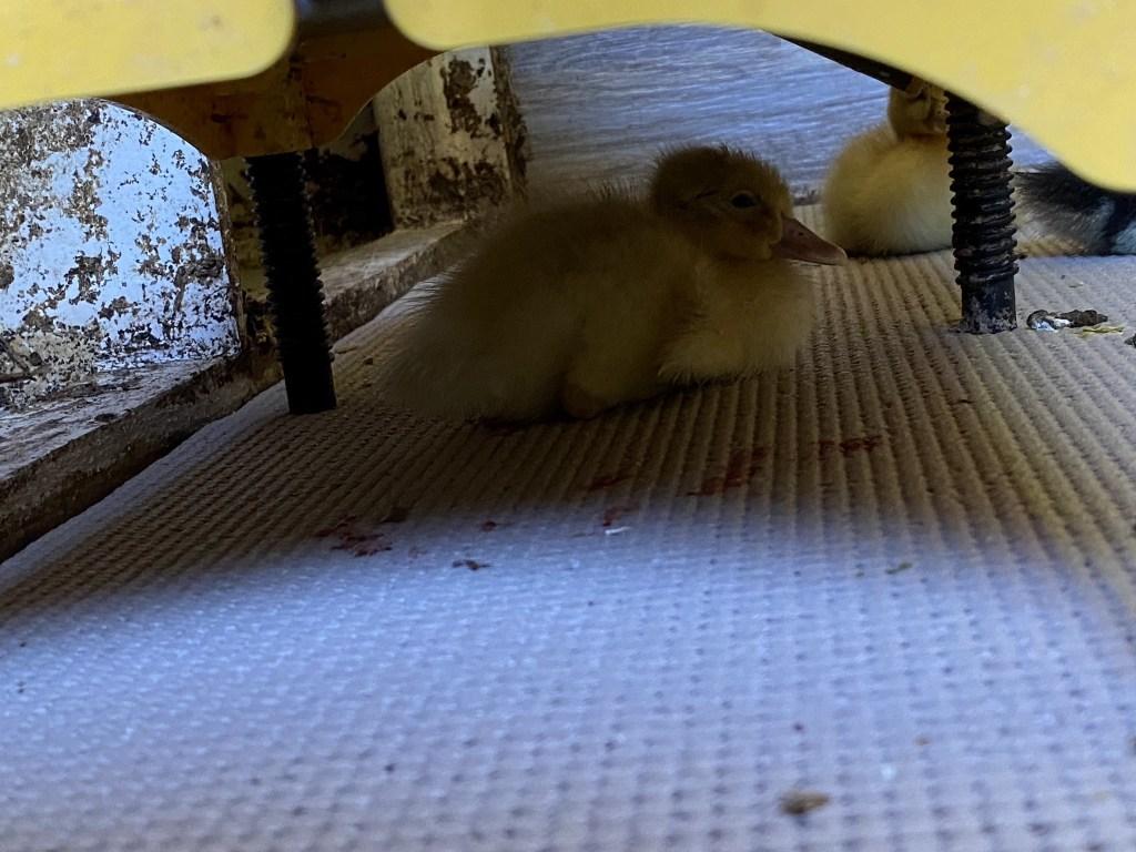 Duckling under EcoGlow