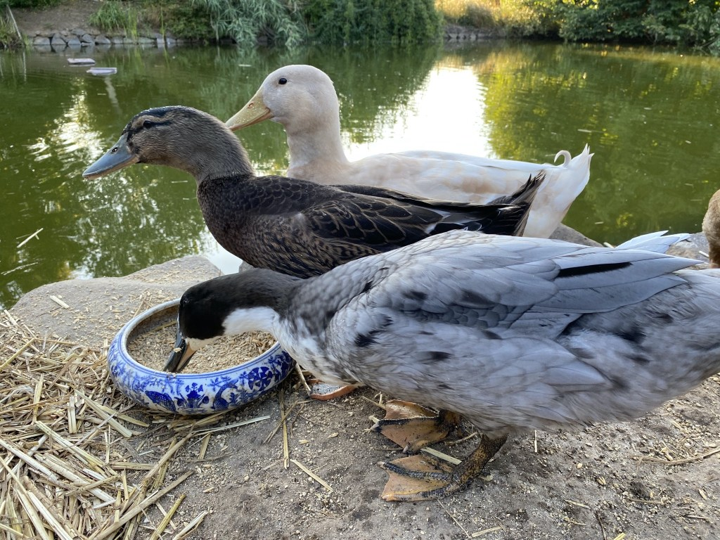 Ducks eating