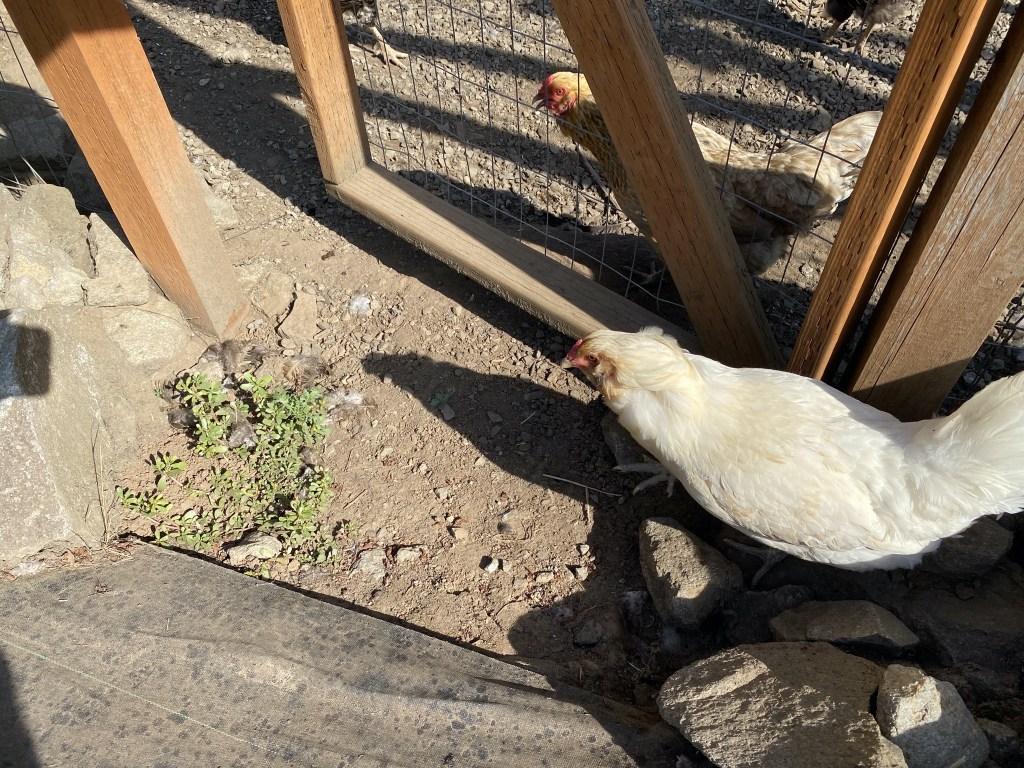 Chicken in the veggie garden