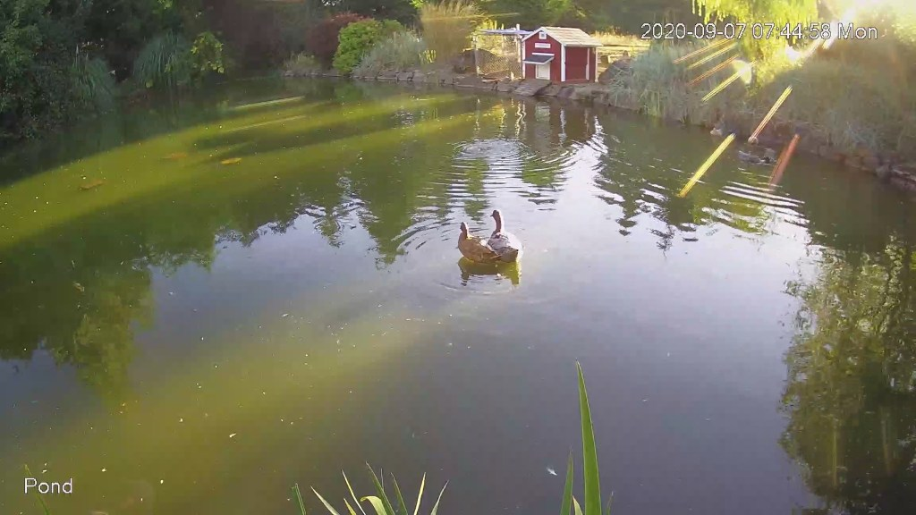 Two ducks on island