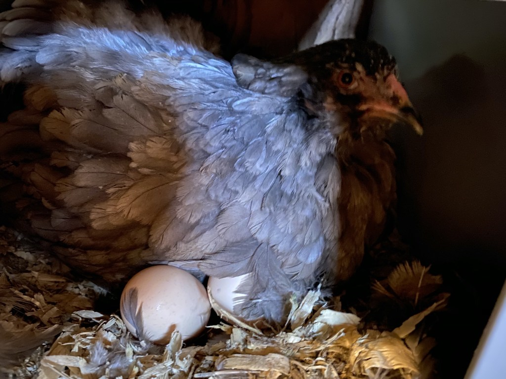 Broody chicken with eggs