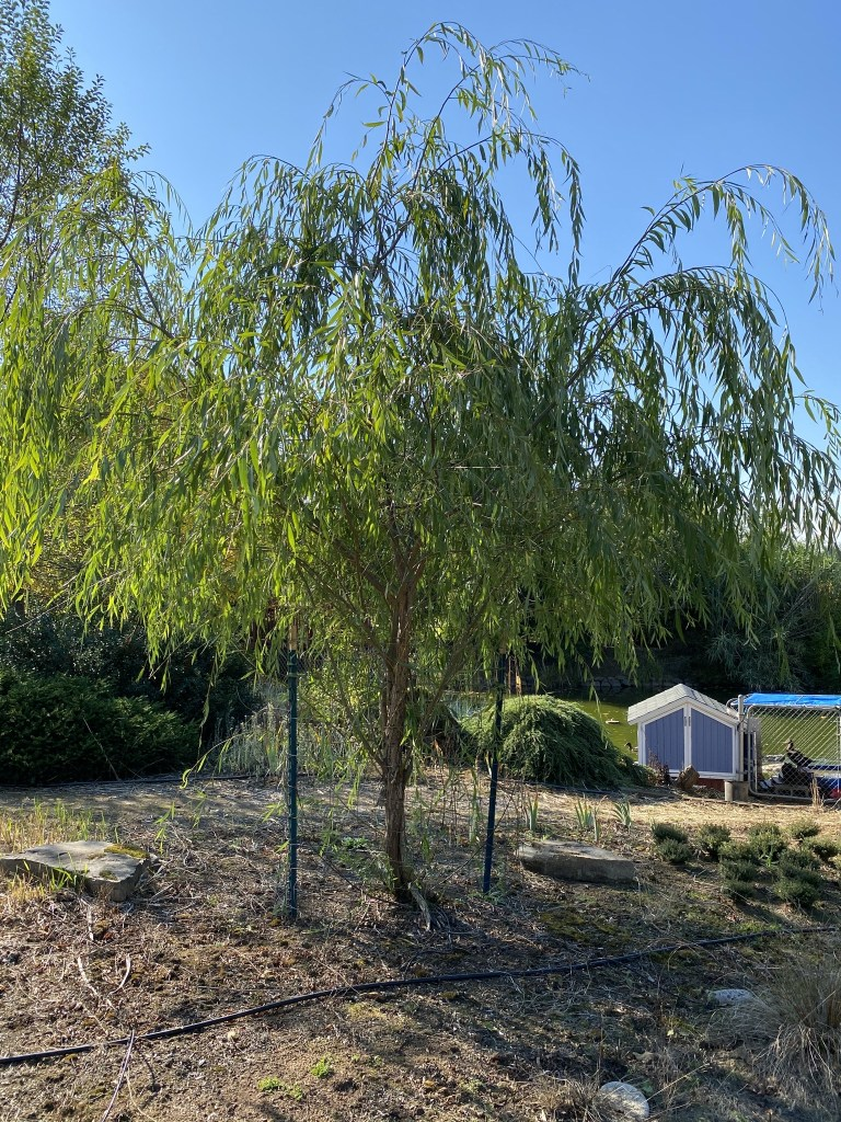 Weeping willow (beyond pond, by cat graveyard)