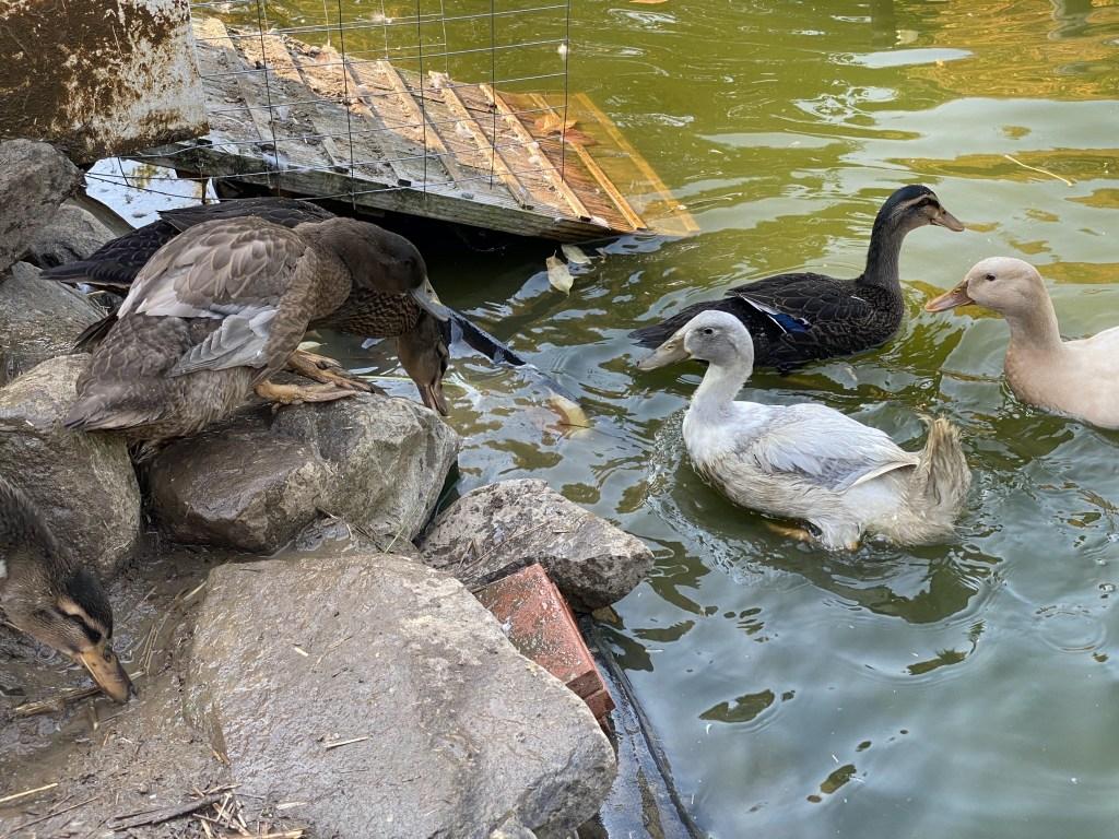 New ducks