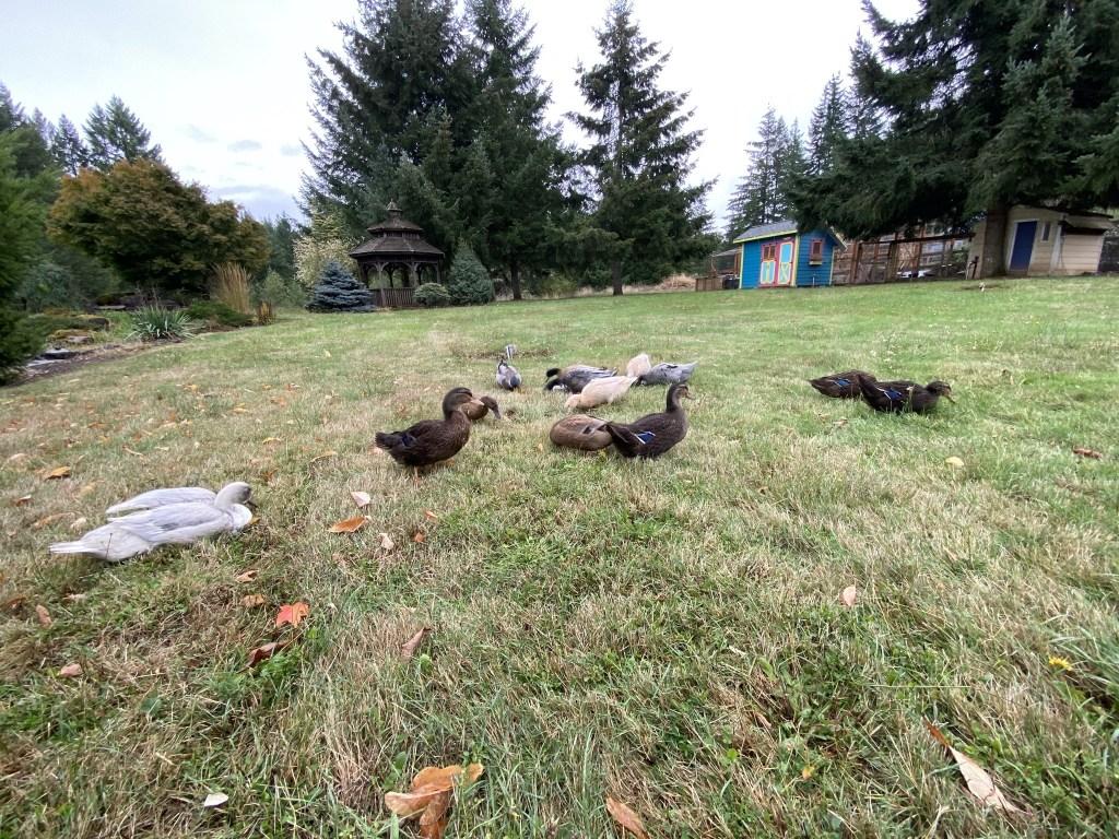 Wide angle ducks