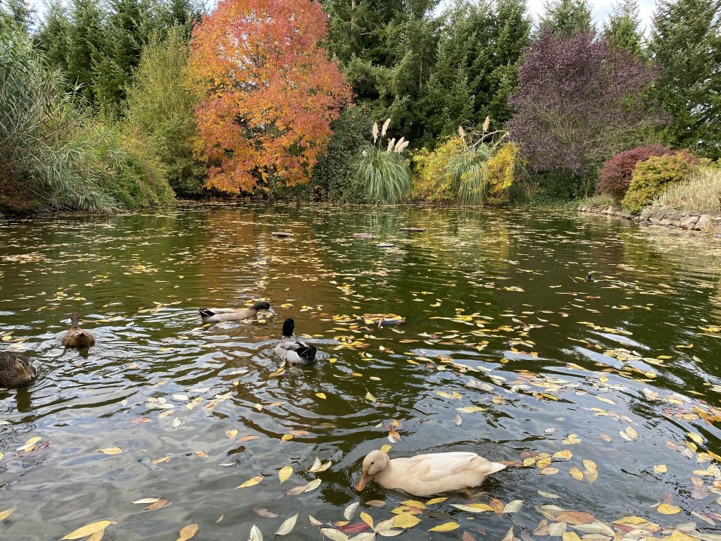 Leafy pond and ducks