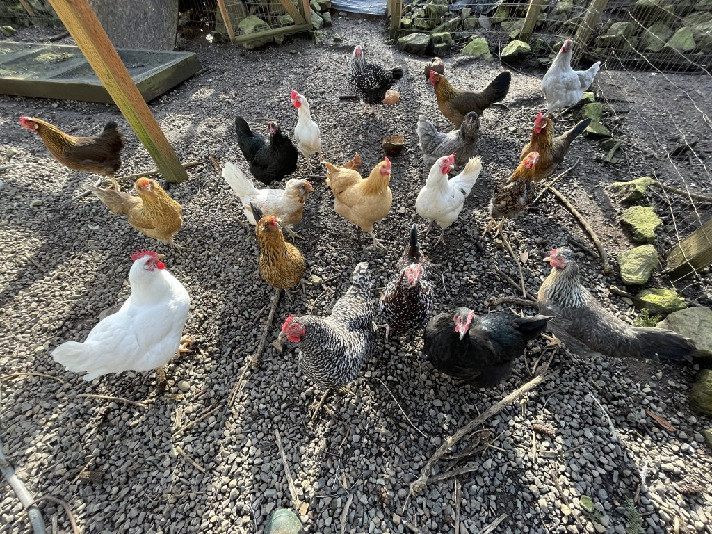 Chickens waiting for treats