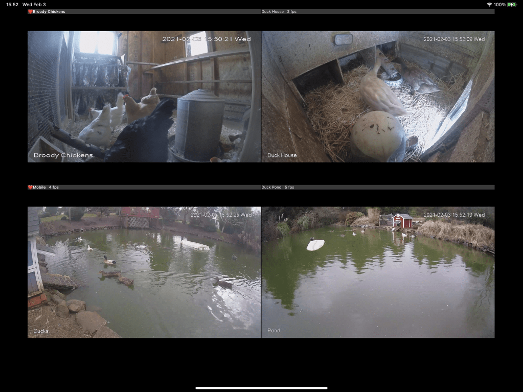 Chickens and ducks on cams
