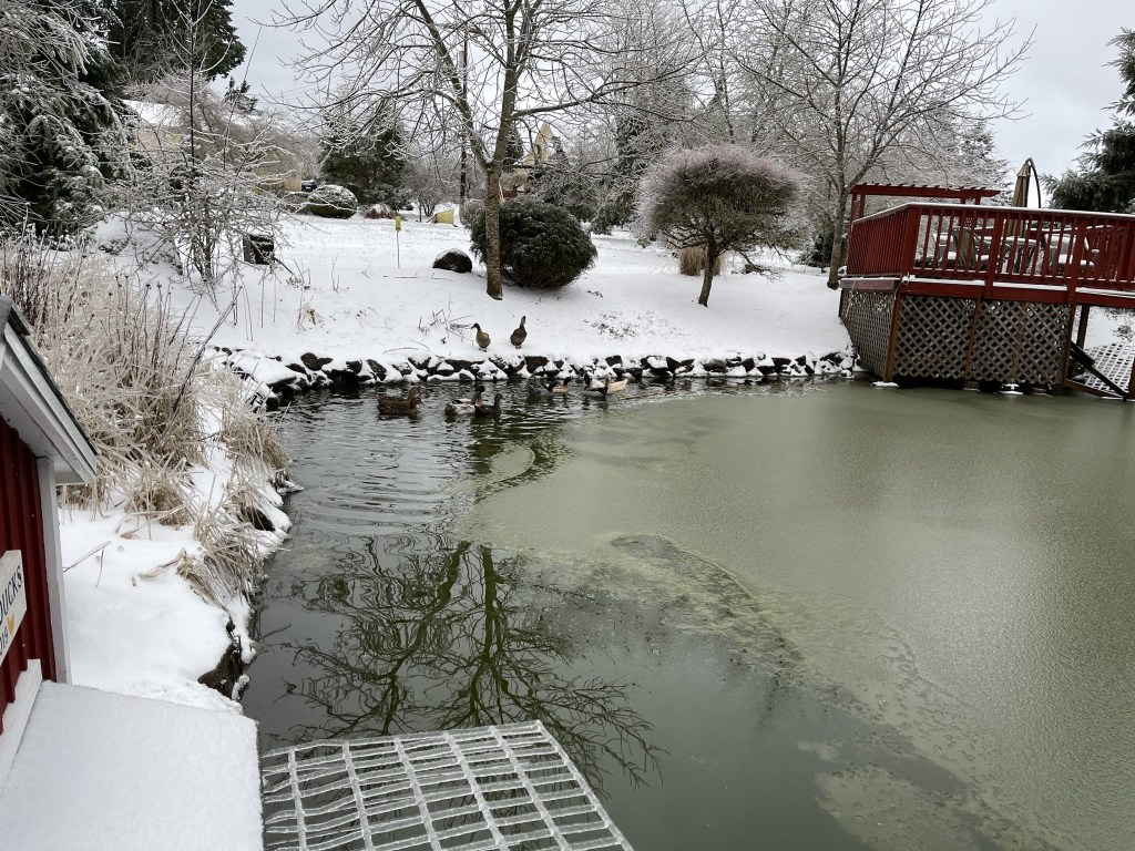 Slushy pond and ducks