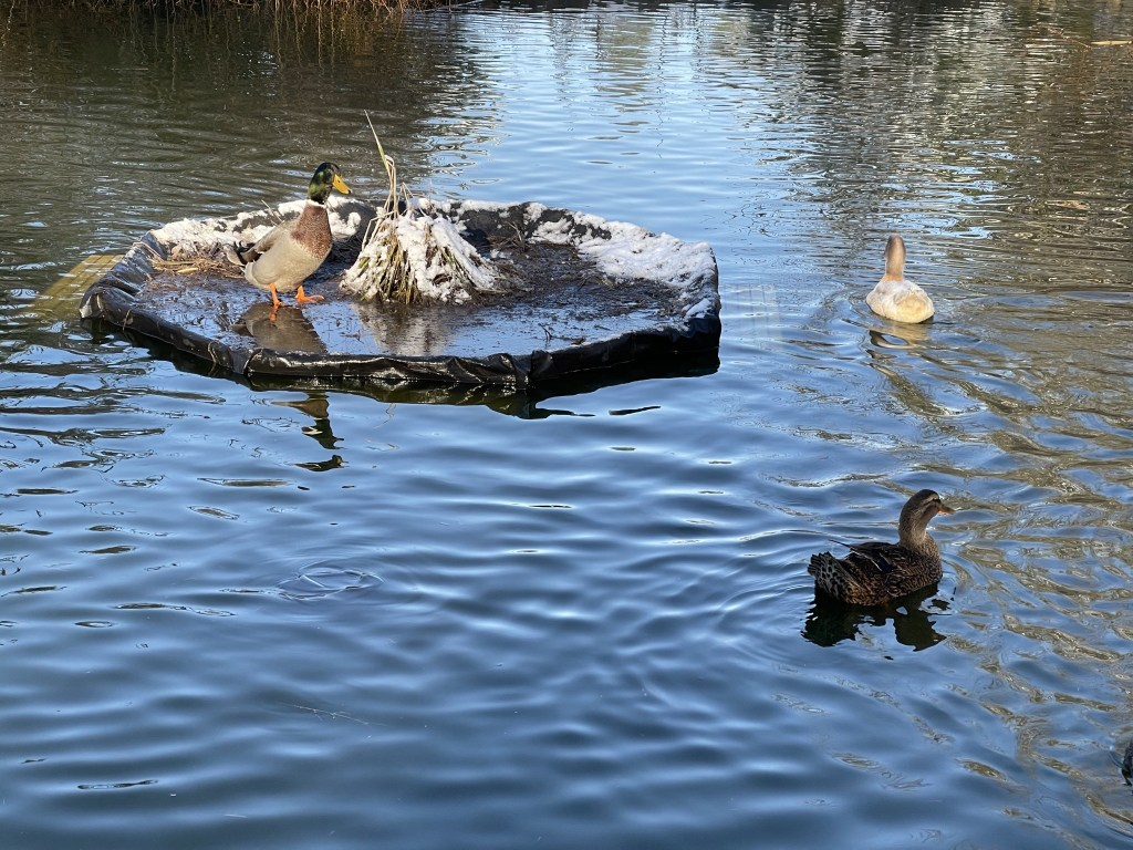 Pond island and ducks